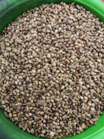 Насіння коноплі харчової для виробництва сиродавленної олії рибної лов