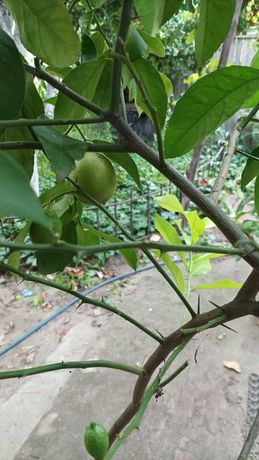 Лимон КИЕВСКИЙ плодоносящий, лимонное дерево