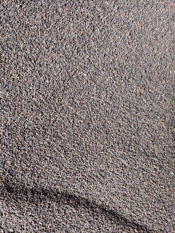Facelia błękitna, nasiona z tegorocznych zbiorów