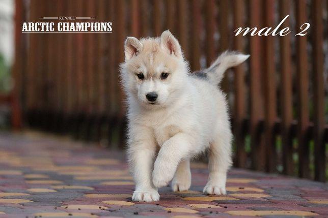 Хаски КСУ-FCI. Puppy husky.