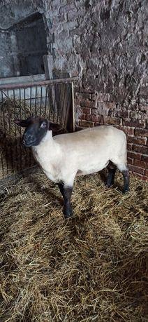 Tryk czarnogłówka / owca / owce
