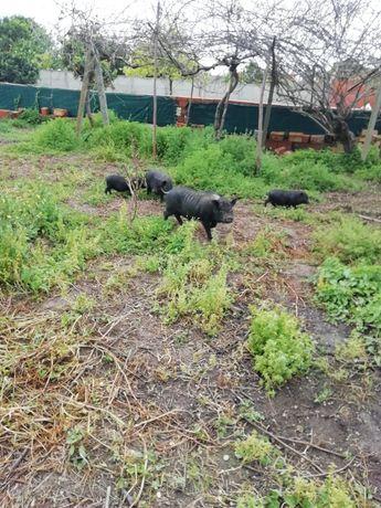 Porquinhos vietnamita
