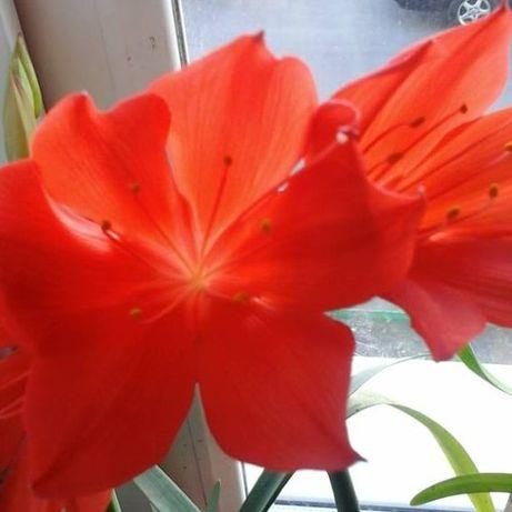 Валотта прекрасное растение в Вашем доме