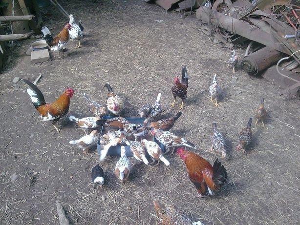 Продам карликові кури