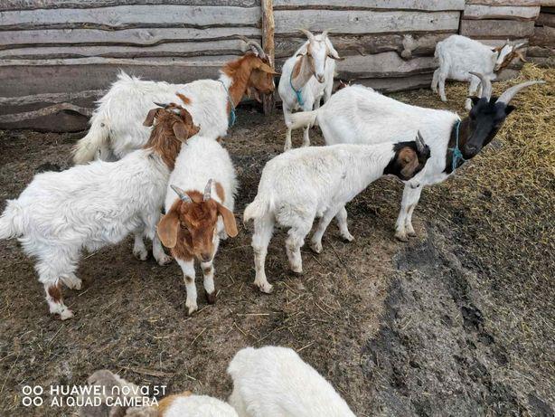 Бурские козы - Бурские козочки. Бурские козленочки