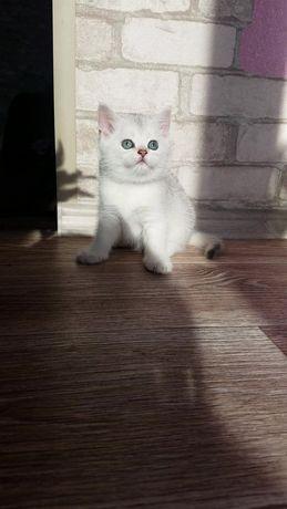Шотландские вислоухие и прямоухие котята Золотые и серебряные шиншилл