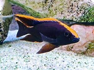 Otopharynx Black  Malawi Pyszczaki Olsztyn sklep zoologiczny Pirania