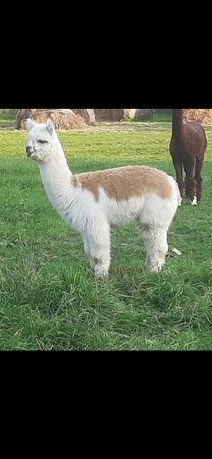 Alpaka huacaya, młody samiec.