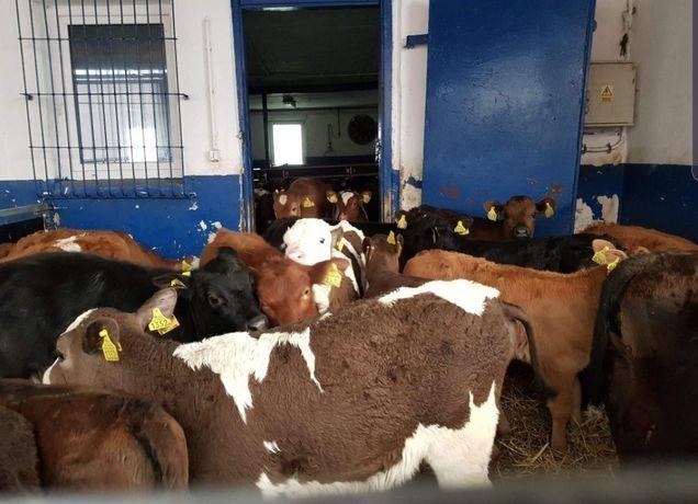 Opatów mięsne byczki i jałoweczki