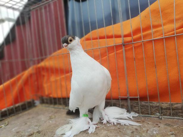 Gołębie krymek krymki