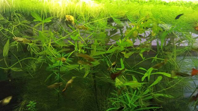 Rośliny akwarium z przycinki 10szt.