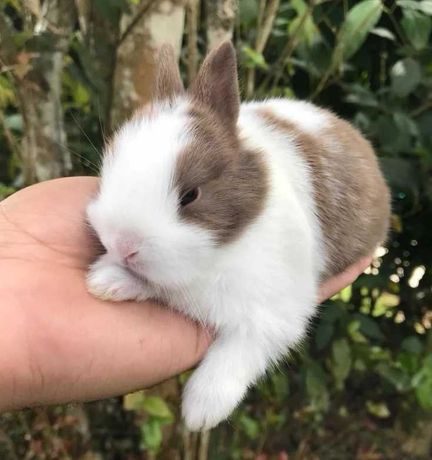 KIT completo coelhos anões angorá, holandês mini e minitoy muito fofos