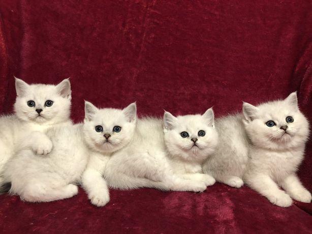 Продам котят британской шиншиллы!