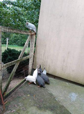 Sprzedam 15 perliczek. 4 króliki, samice kotne i 3 pary plawików