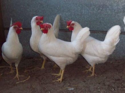 кури Легорн, якісні яйця для інкубації з Європи