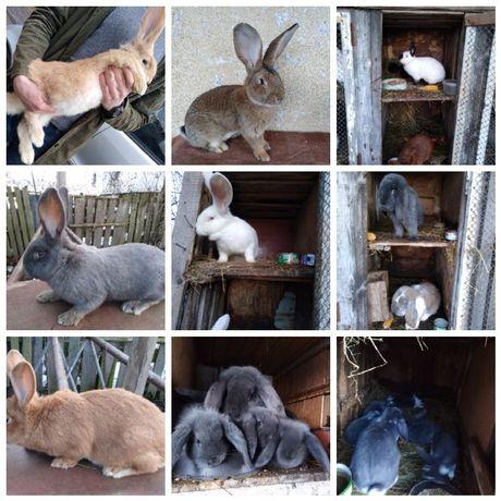 Króliki!! Wszystkie Rasy! Hodowla królików rasowych!! Samce /Samice!!