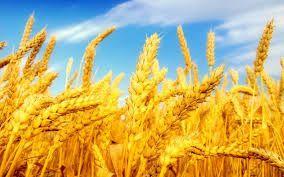 Пшеница, ячмень, кукуруза, отруби. Комбикорма Feed&Life и НОРМАplus