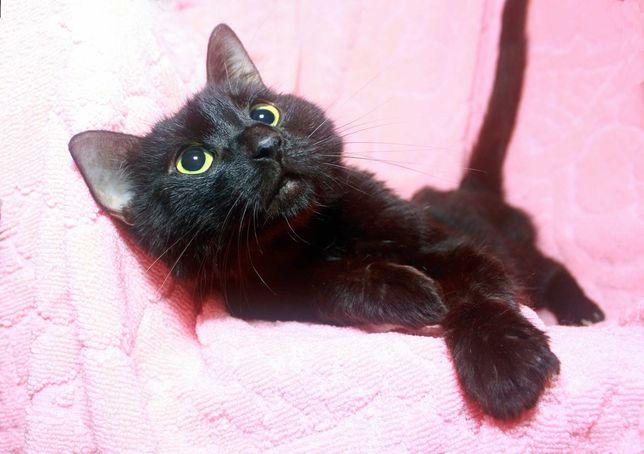 Кошечка Багира прекрасного черного окраса, 1 годик Кошка