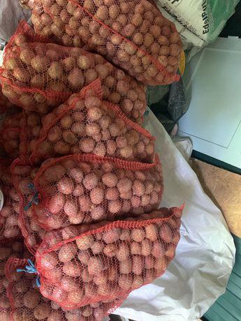 Посадочная картошка