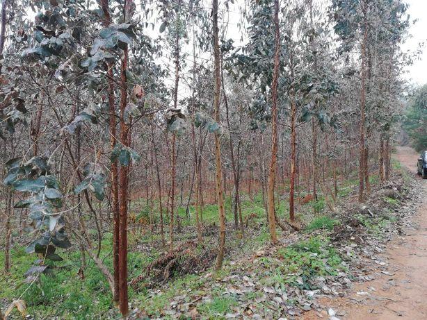 Vende-se terreno com eucaliptos