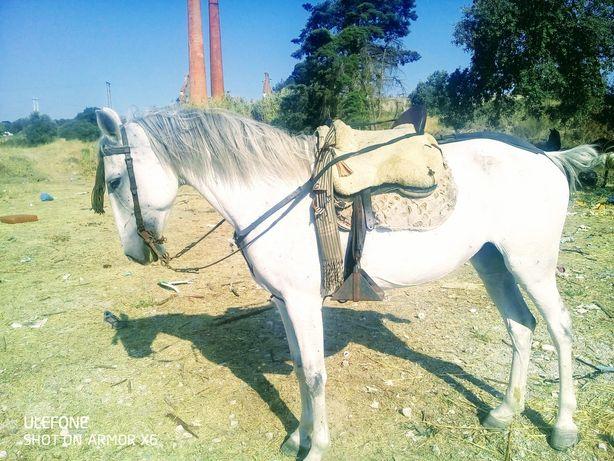 Cavalos Luxus arbris