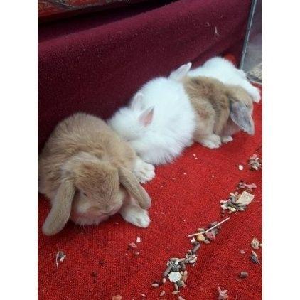 Настоящий кролик миниатюрный декоративный подарок для настроения
