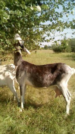 Коза дійна за першим окотом