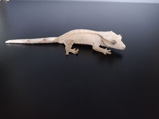 Gekon orzęsiony Cream możliwa samica