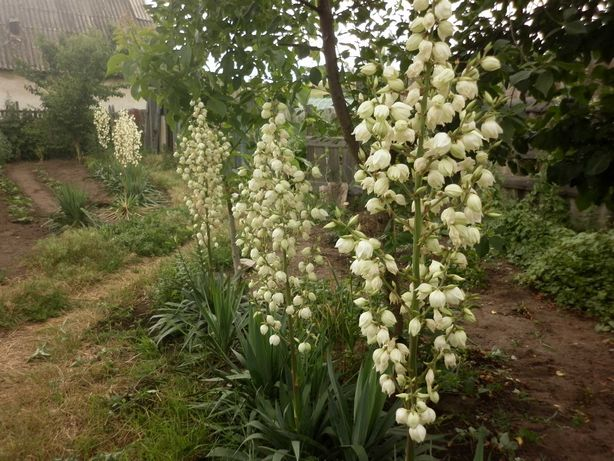 Юкка вечнозеленая, (лилии и тюльпаны - клубни)