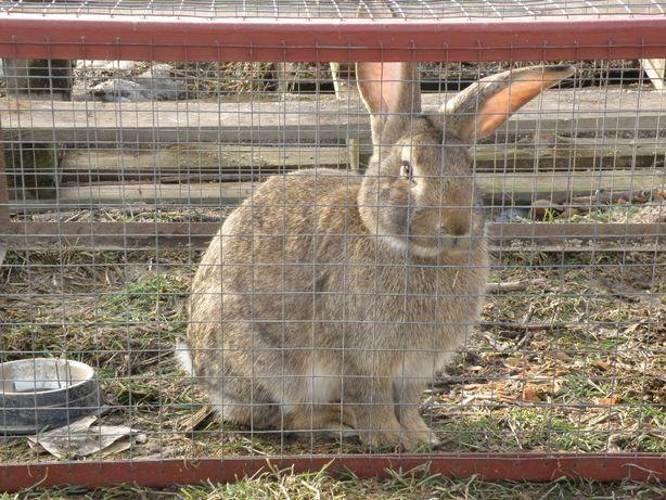 królik króliki samiec