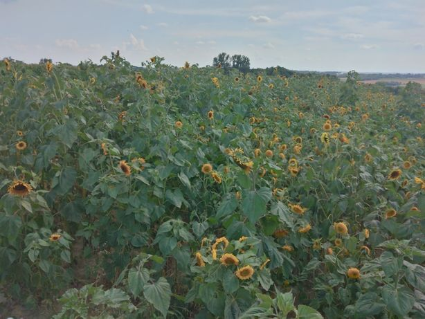 Słonecznik ozdobny na kwiat cięty (kwiatowy) ziarna wysyłka