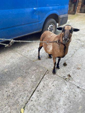 Sprzedam owcę kotną