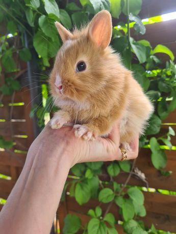Królik króliczek miniaturka