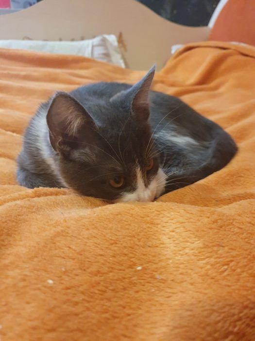 Котёнок милый и весёлый Глеваха - изображение 1