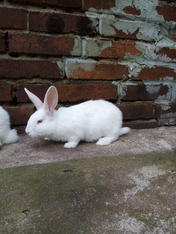 Sprzedam króliki Termondzkie w różnym wieku