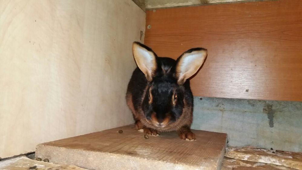 Кролики породы Черно Огненные.