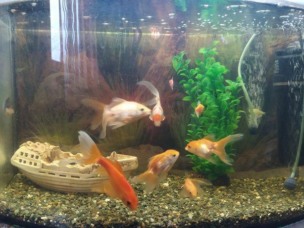 Продаю золотих рибок