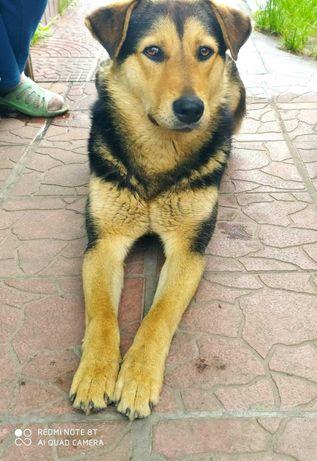 Метис овчарки, умный молодой пёс