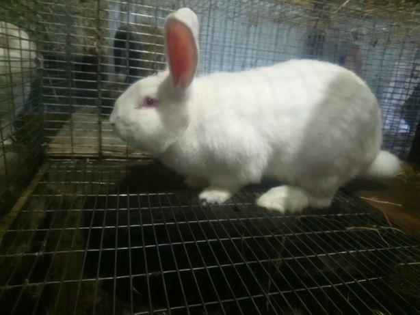 Кролик породы панон