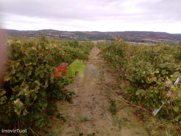 Terreno rústico com vinha em produção