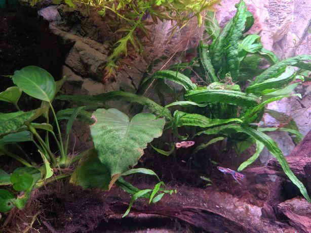 Kryptokoryna roślina akwariowa