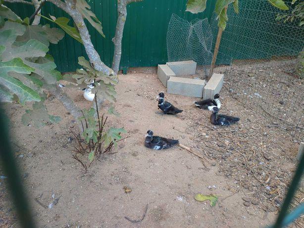 Casal patos mudos adultos e 6 patinhos com 3 meses
