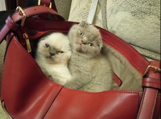 Плюшеві чистокровні вісловухі шотландські кошенята