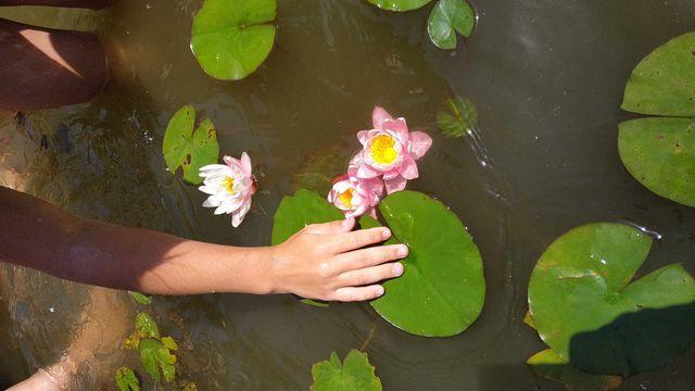 Нимфея, лилия для пруда,, хосты