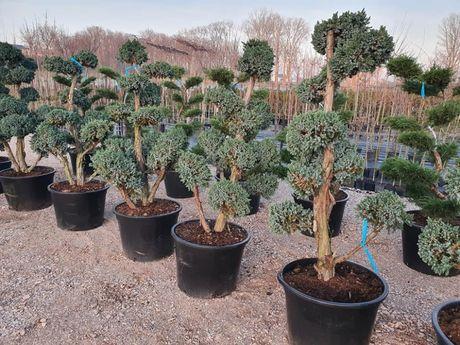 Drzewko bonsai Jałowiec łuskowy Meyeri
