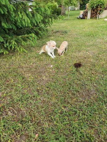 szczeniaki chihuahua mini piesek i suczka