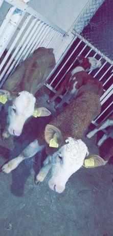 Sprzedaż cieląt byczki