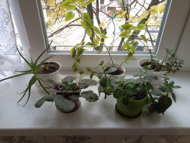 Комнатные вазон фиалка алое каланхое денежное дерево