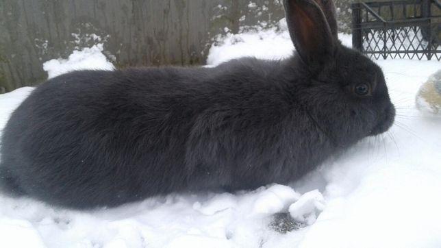 Кролики .Голубий відденський