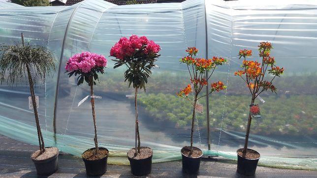 Rododendron, Różanecznik na pniu, krzewy ozdobne
